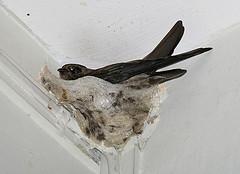 Pássaro Swiftlet